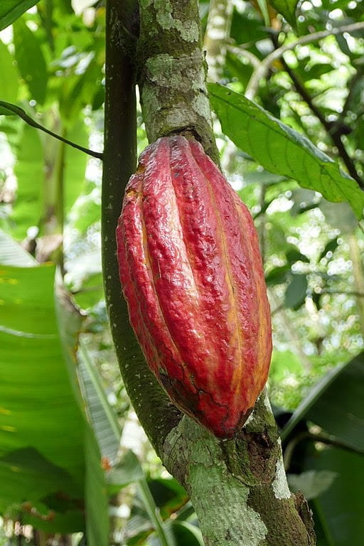Plantation de cacao, service agriculture d'Antioche SARL